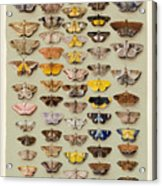 A Study Of Moths Characteristic Of Indo Acrylic Print