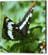 A Summer Butterfly  Acrylic Print