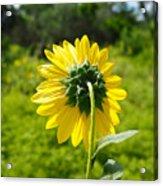 A Sunflower's Backside Acrylic Print