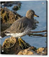 A Surfbird At The Tidepools Acrylic Print