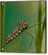 A Swallowtail Butterfly Caterpillar Acrylic Print