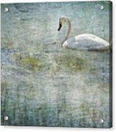 A Swan's Reverie Acrylic Print