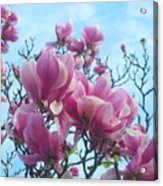 A Symphony Of Magnolia Flowers Acrylic Print