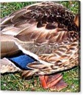 A Tame Crow Acrylic Print