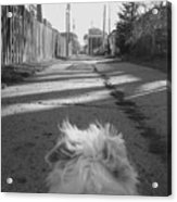A Terriers Perspective Acrylic Print
