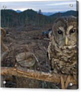 A Threatened Northern Spotted Owl Acrylic Print