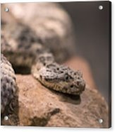 A Tiger Rattlesnake At The Henry Doorly Acrylic Print