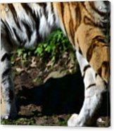 A Tigers Stride Acrylic Print