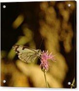 A Tilting Butterfly  Acrylic Print