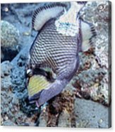 A Titan Triggerfish Faces Acrylic Print