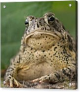 A Toad Appears To Be Frowning He Sits Acrylic Print