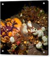 A Ton Of Tunicates Acrylic Print