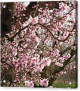 A Touch Of Pink 2 Acrylic Print by Susanne Awbrey