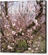 A Touch Of Pink 5 Acrylic Print by Susanne Awbrey