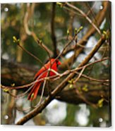 A Touch Of Red Acrylic Print