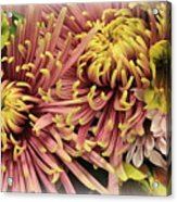 A Touch Of Yellow On Pink Mums Acrylic Print
