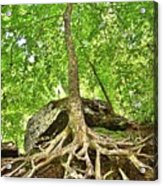 A Tree And It's Roots Acrylic Print