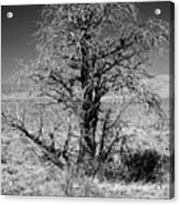 A Tree In The Dry Land Acrylic Print
