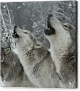A Trio Of Gray Wolves, Canis Lupus Acrylic Print by Jim And Jamie Dutcher