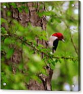 A True Red Head Acrylic Print