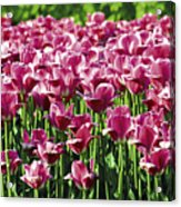 A Tulip Arrangement Acrylic Print