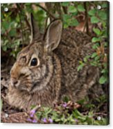 A Very Fine Bunny Resting Under The Lilac Bush Acrylic Print