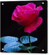 A Very Special Rose Acrylic Print