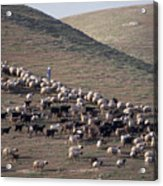 A View Of Sheep In The Judean Desert Acrylic Print