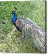 a Visit by Blue Acrylic Print