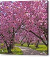A Walk Down Cherry Blossom Lane Acrylic Print