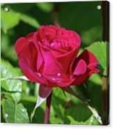 A Watered Rose  Acrylic Print