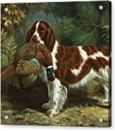 A Welsh Springer Spaniel Holds A Dead Acrylic Print by Walter A. Weber