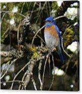 A Western Bluebird In A Tree Acrylic Print