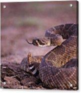 A Western Diamondback Rattlesnake Acrylic Print