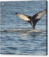 A Whale Of A Tail Bar Harbor Acrylic Print