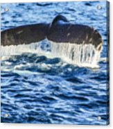 A Whale Of A Tail Acrylic Print