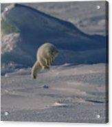 A White Arctic Fox, Alopex Lagopus Acrylic Print