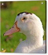 A White Duck, Side View Acrylic Print