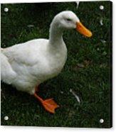 A White Duck Acrylic Print