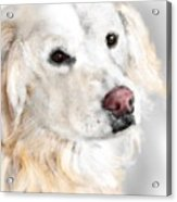 A White Golden Retriever Acrylic Print
