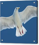 A White Gull Flying In Sky Acrylic Print