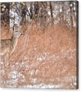 A White-tailed Deer In A Snow Storm Acrylic Print