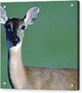 A White-tailed Deer On The Prairie Acrylic Print