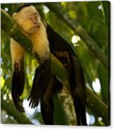 A White-throated Capuchin Monkey Acrylic Print by Roy Toft