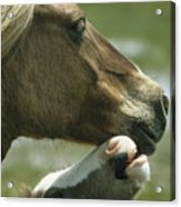 A Wild Pony Foal Nuzzling Its Mother Acrylic Print