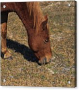A Wild Pony In Assateague Acrylic Print
