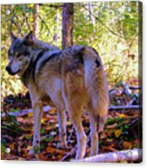 A Wolf Gazes Back Acrylic Print