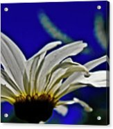 A Worms Eye View Of A Daisy Acrylic Print