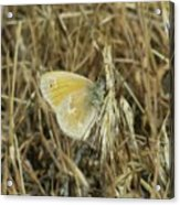 A Yellow Moth  Acrylic Print