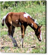 A Young Painted Colt  Acrylic Print